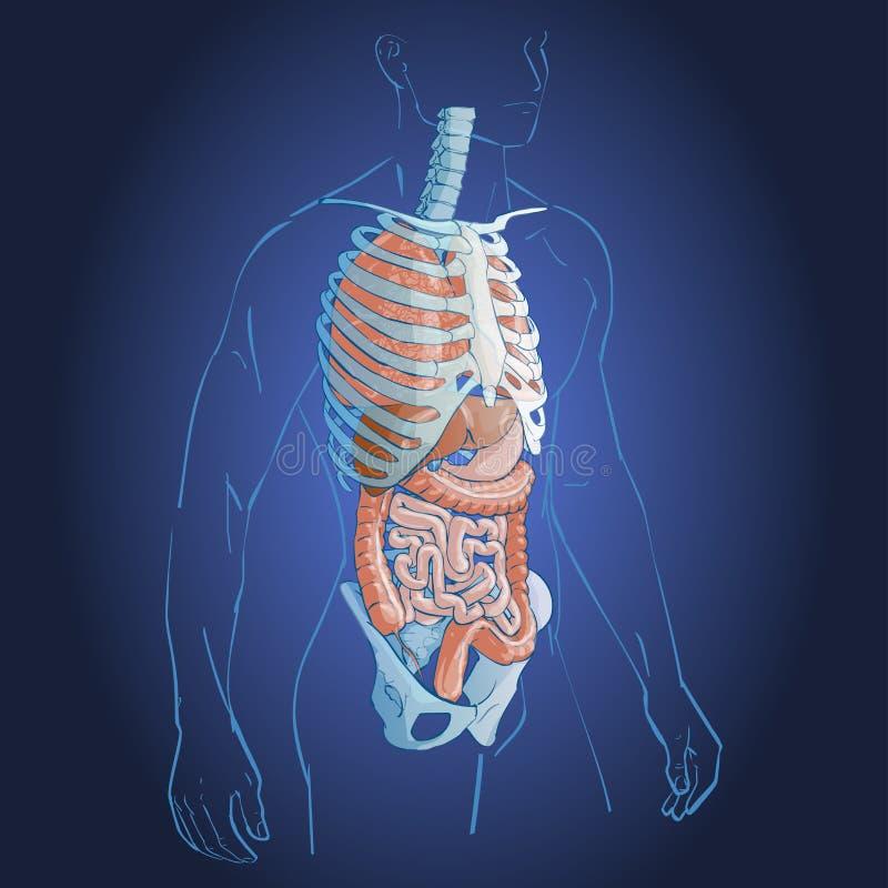 Wewnętrznych organów system ilustracji
