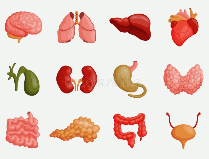 Wewnętrznych organów wektoru ilustracja Serce, wątróbka, mózg ilustracji