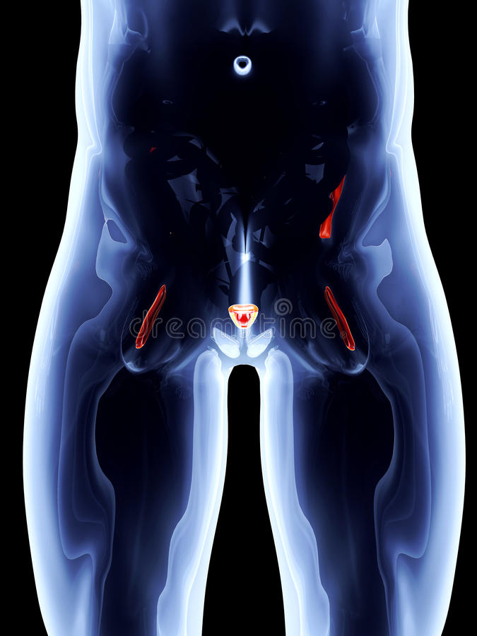 Download Wewnętrzni Organy - Prostata Ilustracji - Ilustracja złożonej z fizjologia, lokacja: 28963612