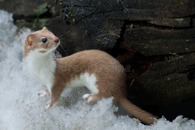 Wezel in de sneeuw stock foto