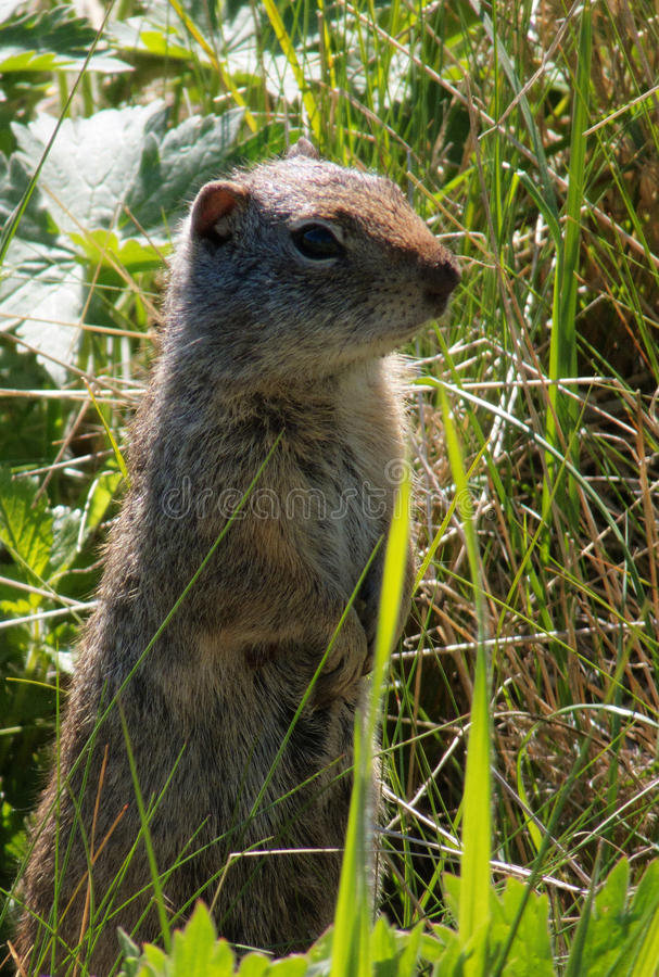 Whack a Mole. Ground squirrel in a meadow at Yellowstone National Park cautiously popping up among the grasses in curiosity stock photography