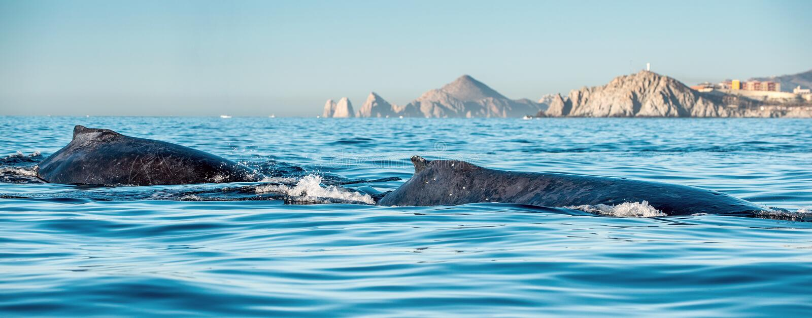 Whale back and dorsal fin. Humpback whale in the Pacific Ocean stock image