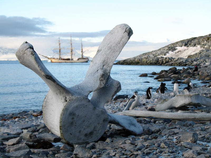 Whale bone. A whale bone on a beach in Antarctica stock photos