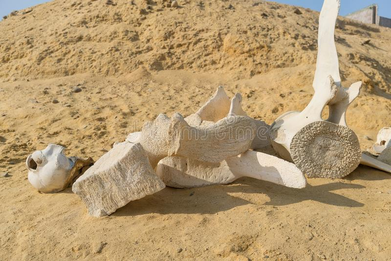 Whale bones in sand on the beach shore. stock images