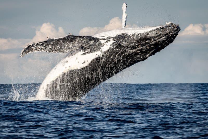 Whale breaching off Manly beach, Sydney Australia royalty free stock photo