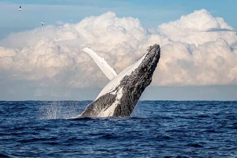 Whale breaching off Manly beach, Sydney Australia stock photo