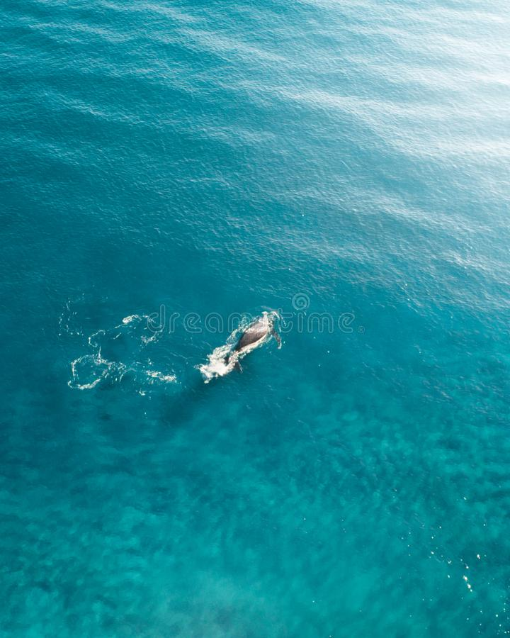 Whale cruising in the ocean. Aerial shot of a whale breaching the top of the water of the blue ocean stock images