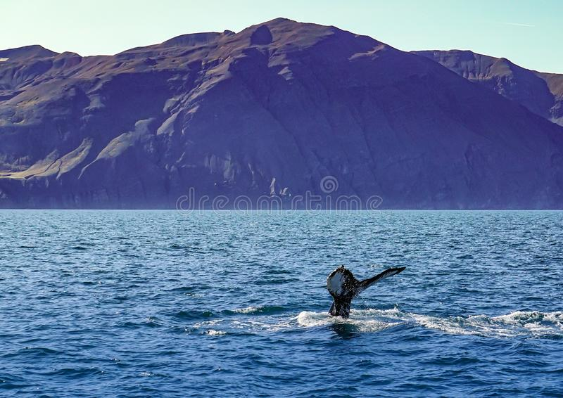 Whale diving on the Iceland coast near Husavik stock photos