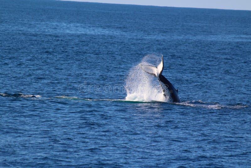 Whale, Doubtful Sound, Fiordland National Park, South Island, New Zealand. A whale, Doubtful Sound, Fiordland National Park, South Island, New Zealand stock images