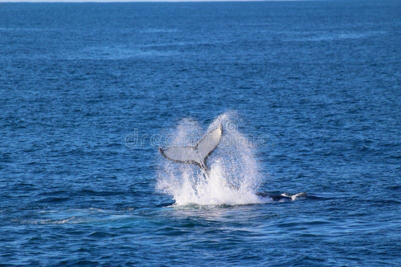 Whale, Doubtful Sound, Fiordland National Park, South Island, New Zealand. A whale, Doubtful Sound, Fiordland National Park, South Island, New Zealand royalty free stock photography