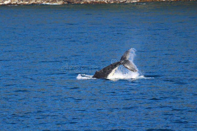 Whale, Doubtful Sound, Fiordland National Park, South Island, New Zealand. A whale, Doubtful Sound, Fiordland National Park, South Island, New Zealand stock photo