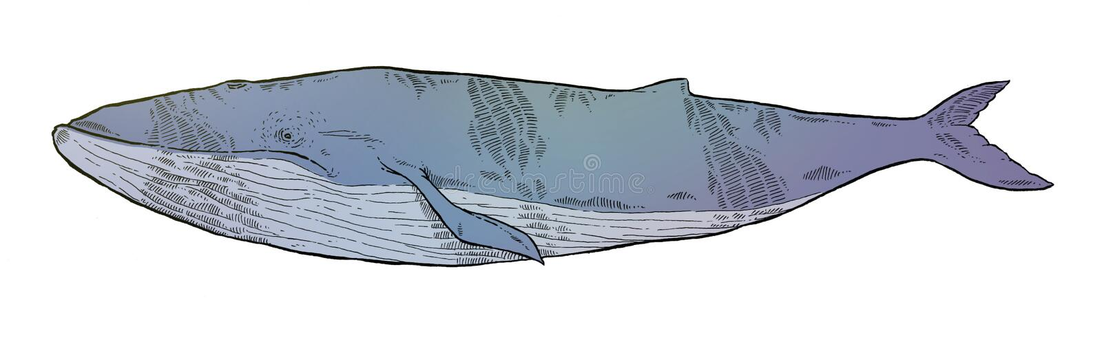 Whale stock illustration