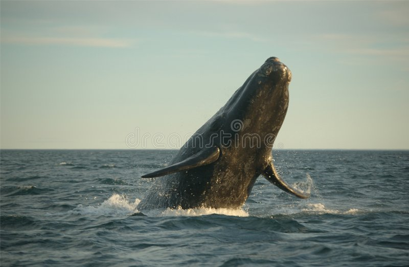 Download Whale jumping stock image. Image of valdes, animal, jumping - 1345361