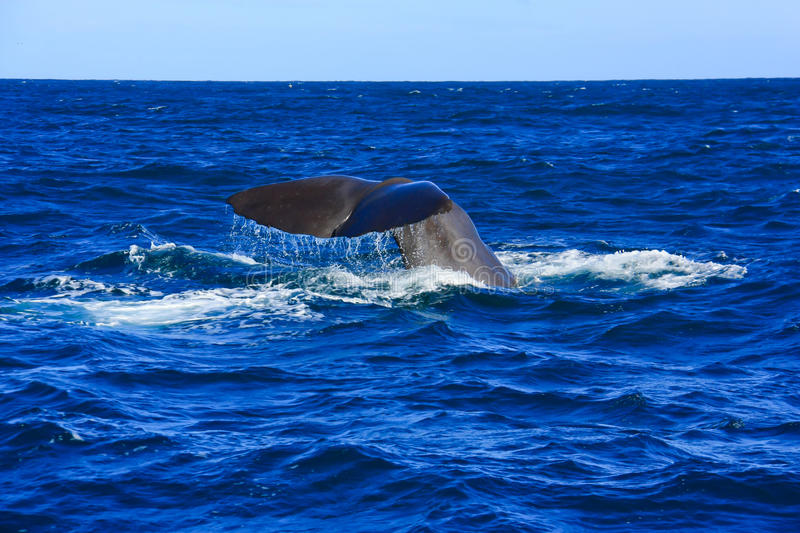 Download Whale, New Zealand Royalty Free Stock Photography - Image: 35222637