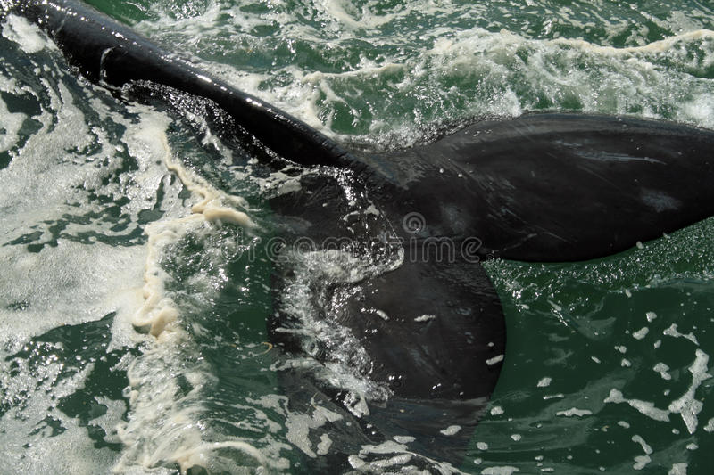 Whale S Tail Royalty Free Stock Photography