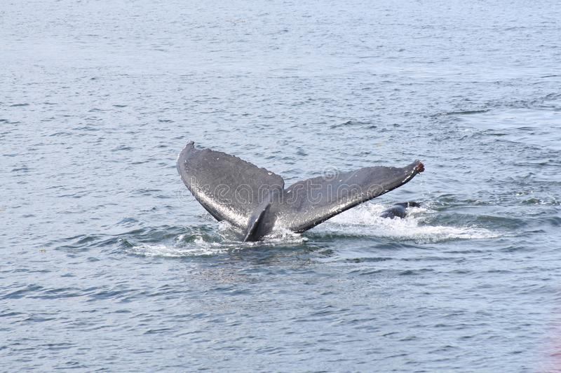 Whale's Tail Free Stock Image