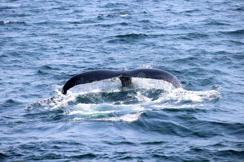 Whale`s tail in blue ocean royalty free stock images