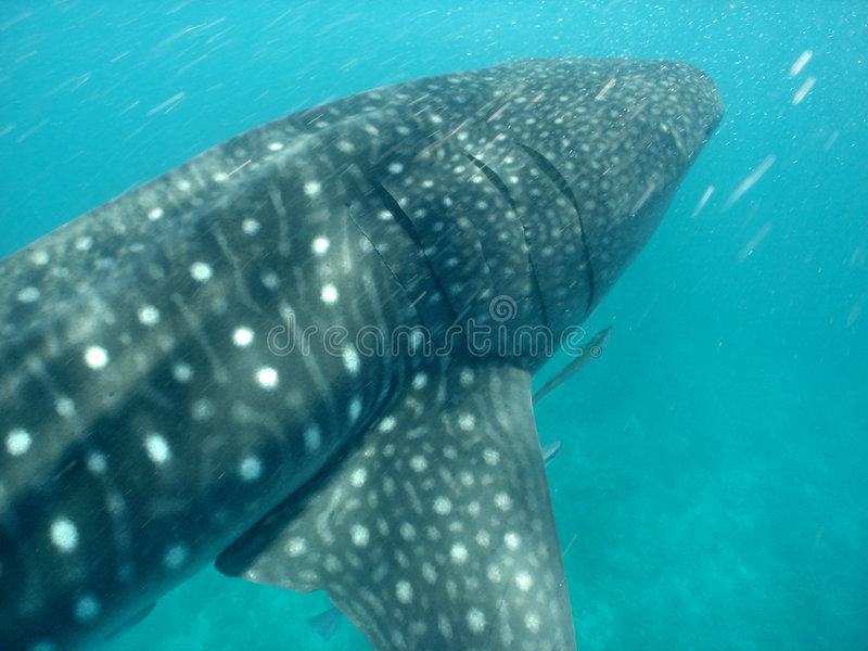 Download Whale shark stock image. Image of fish, huge, submerged - 1032339