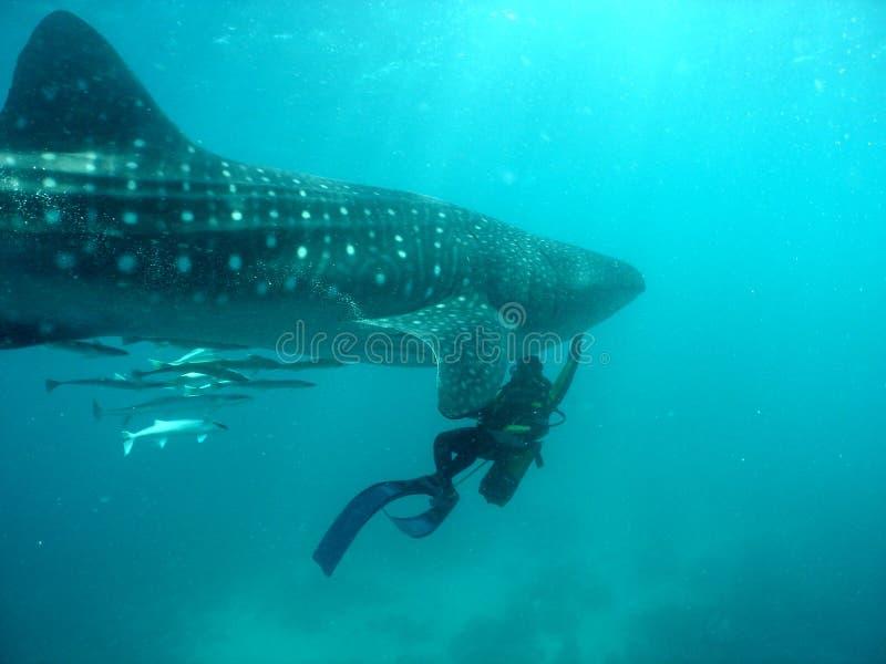 Download Whale shark stock image. Image of plankton, ocean, scuba - 1032349