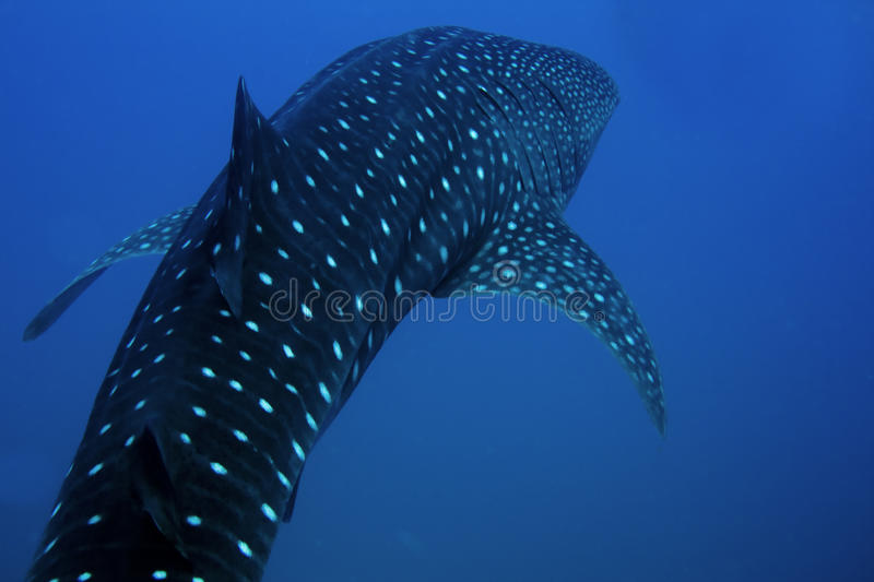 Whale Shark. Encountered off Sail Rock in the Gulf of Thailand stock image