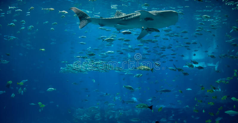 Download Whale Shark stock image. Image of whale, color, aquarium - 13032261