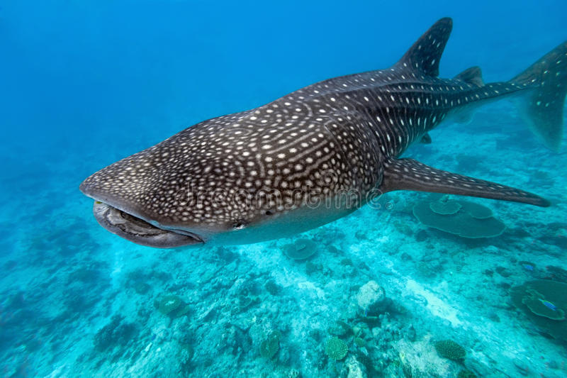 Whale shark royalty free stock images
