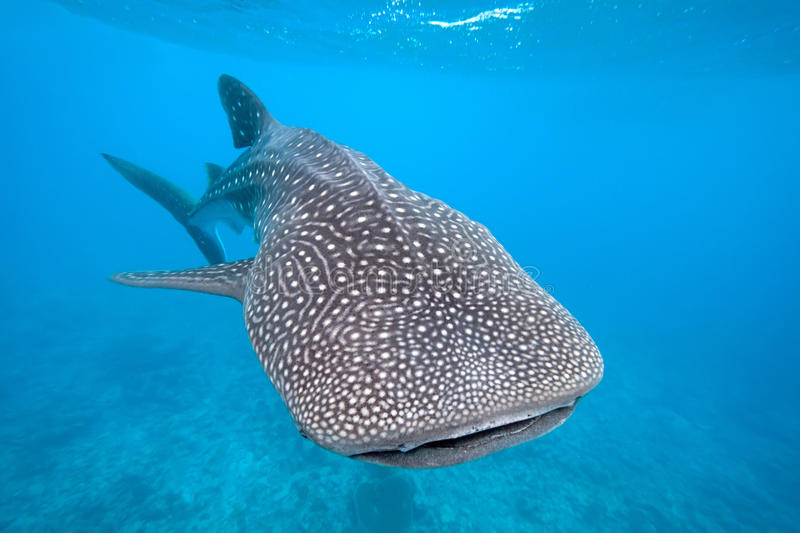 Download Whale shark stock photo. Image of water, maldives, huge - 17860384