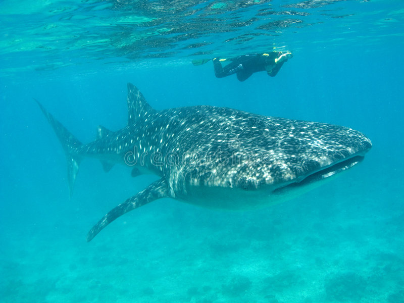 Whale shark. Cruising in the Indian Ocean with snorkeler