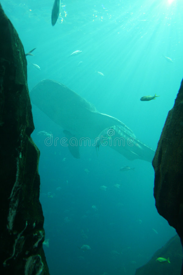 Download Whale Shark stock image. Image of shark, swimming, submerged - 6588089