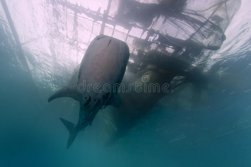 Whale Shark close encounter with diver underwater in Papua stock images
