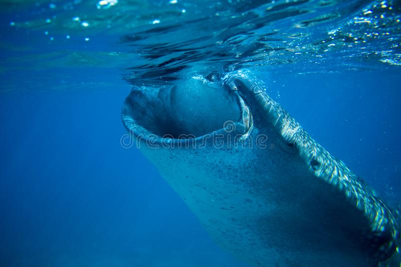 Whale shark in deep blue sea. Whale shark closeup eating plankton by sea water surface. royalty free stock photography