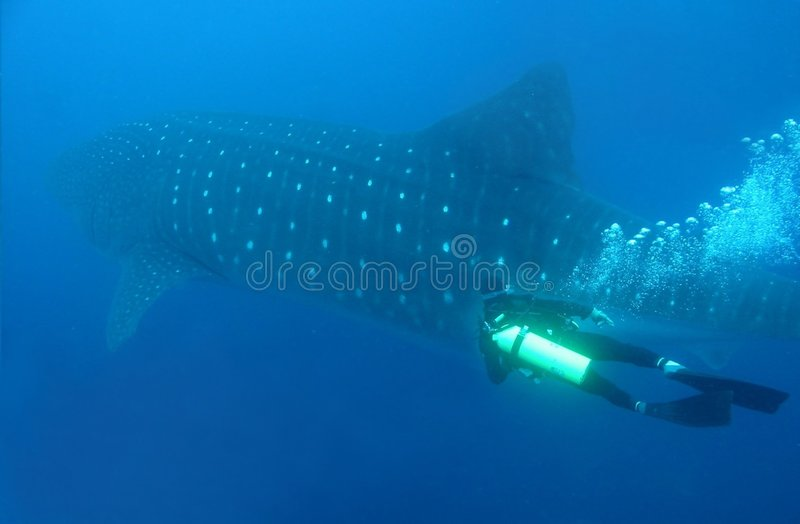 Download Whale Shark And Diver stock image. Image of rhincodon - 8915191