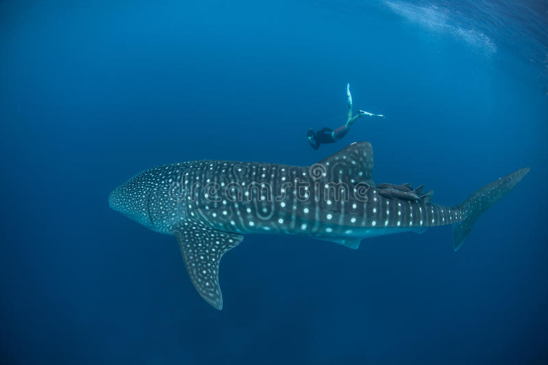 Whale Shark and Free Diver. A free diver swims alongside a Whale shark (Rhincodon typus) cruising near the surface of the Caribbean Sea. This massive shark, with royalty free stock image
