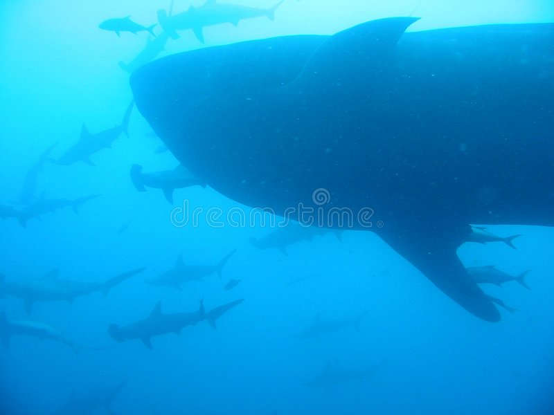 Download Whale Shark And Hammerheads Stock Image - Image: 8772689