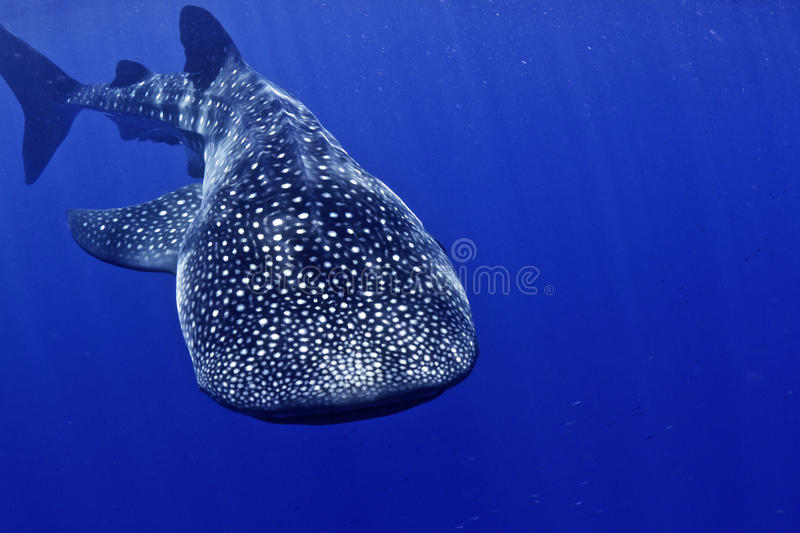 Whale shark head on stock images