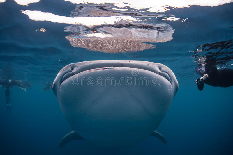 Whale Shark Mouth. A large whale shark swims just under the surface of the ocean. This is the largest species of shark in the world. Found worldwide in tropical royalty free stock photo