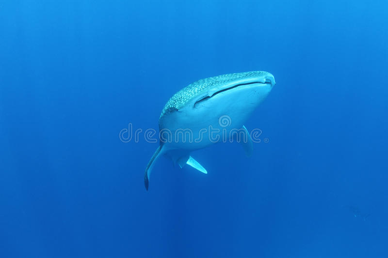 Whale Shark in the Red Sea. These gentle giants filter plankton and are not aggressive at all. It's on the must-see-list of every diver in the world royalty free stock photography