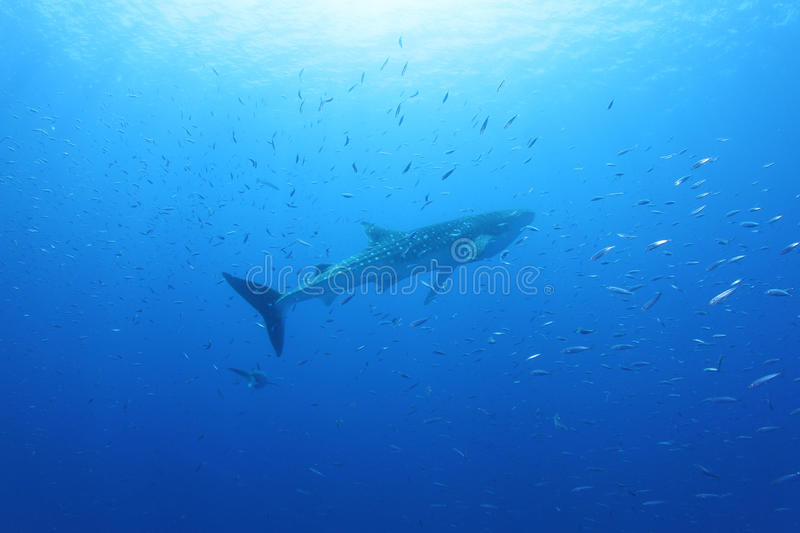 Download Whale Shark in the Red Sea stock image. Image of whale - 26104473