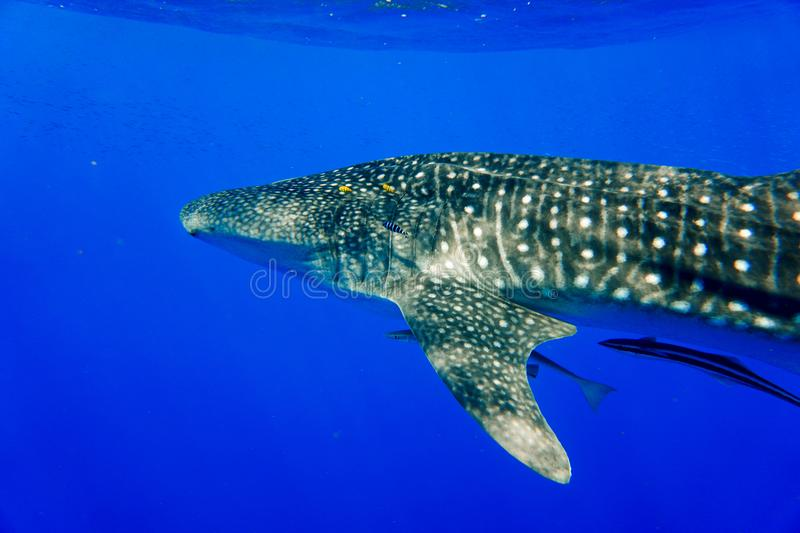 Whale Shark Red Sea royalty free stock image