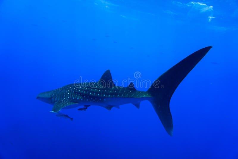 Whale Shark Red Sea stock photos