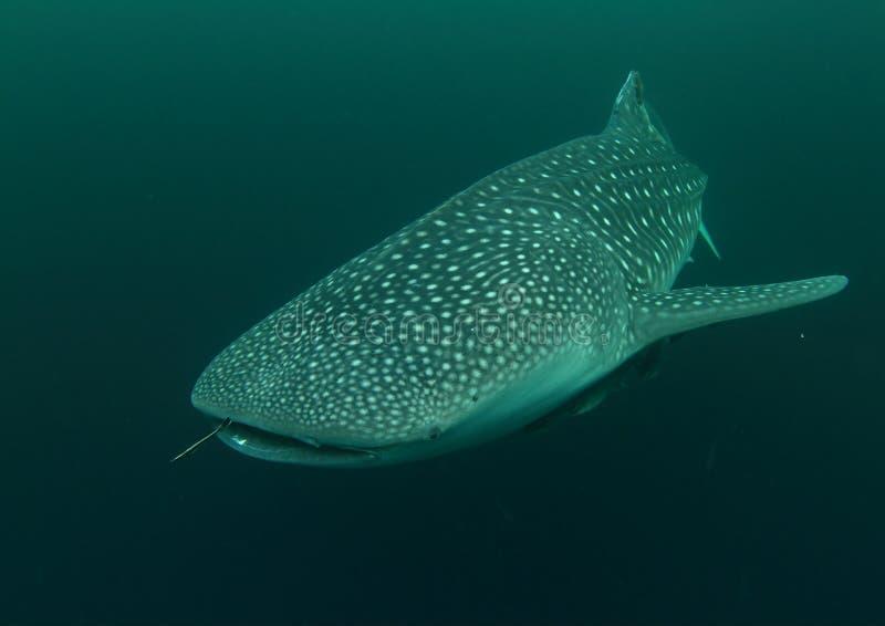 Whale shark royalty free stock photo