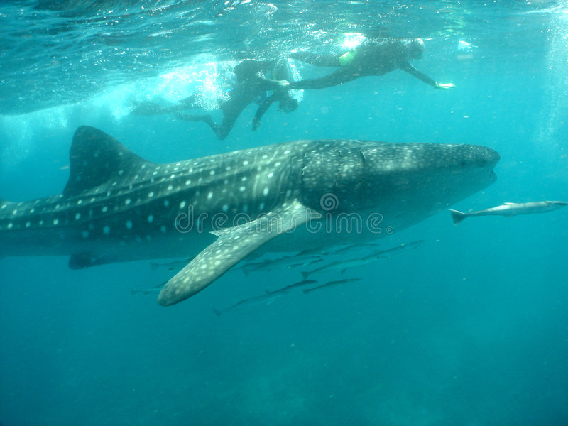 Whale shark with snorkelers stock photo