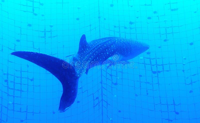 Whale Shark. Swimming away in underground net. Photos taken in Okinawa, Japan stock photo