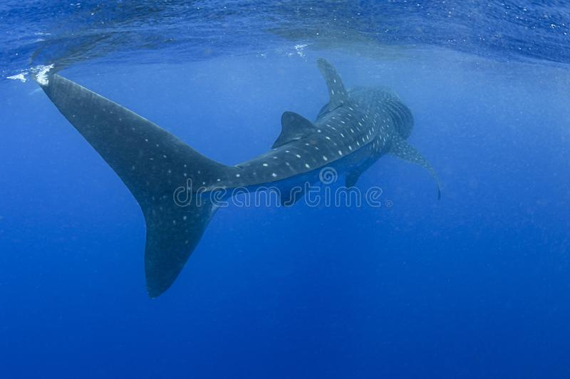 Whale Shark Swims by with Its Massive Tale stock photography
