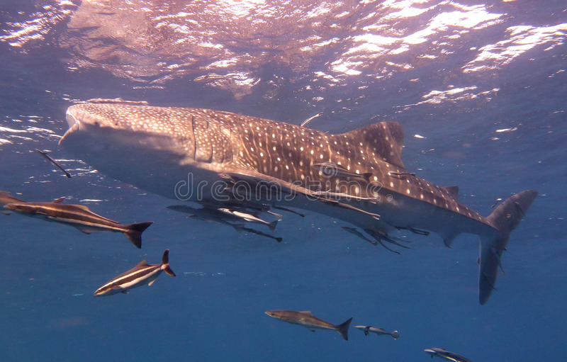 Whale Shark swims near the surface royalty free stock photos