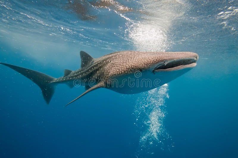 Whale shark underwater. Side view of whale shark swimming underwater in blue sea or ocean royalty free stock images