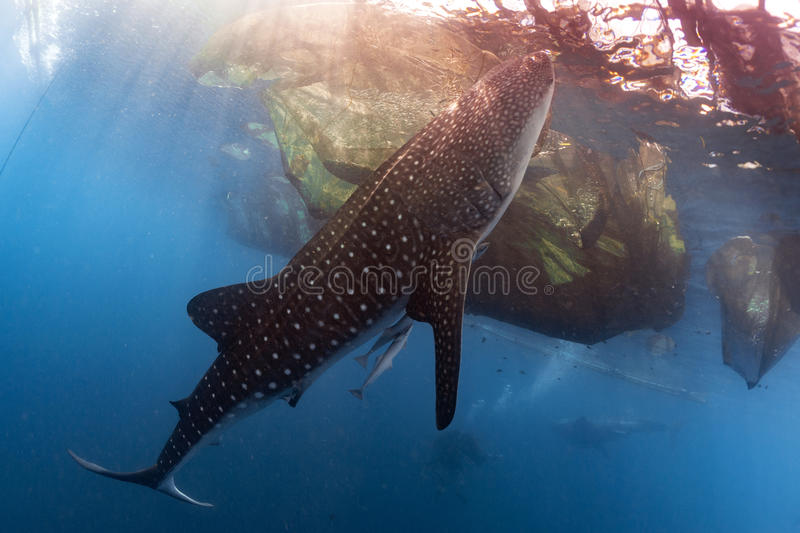 Whale Shark underwater approaching a fishing net royalty free stock photo