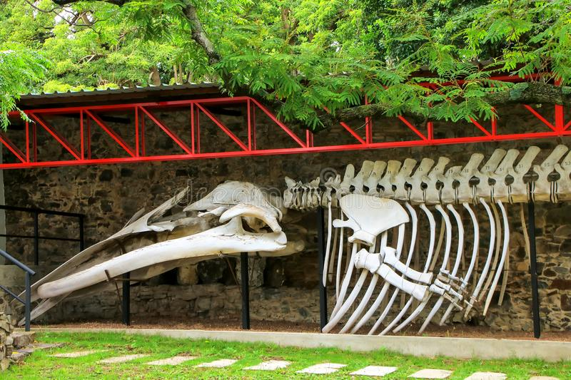 Whale skeleton on display at Paleontology museum in Colonia del royalty free stock photo