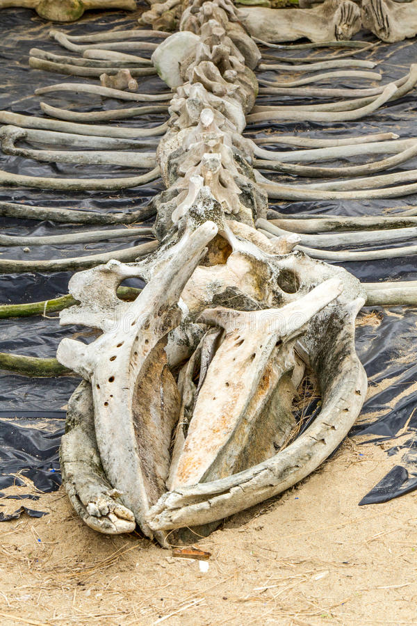 Whale Skeleton Exposed At Marine Life Museum. In Ecuador royalty free stock images