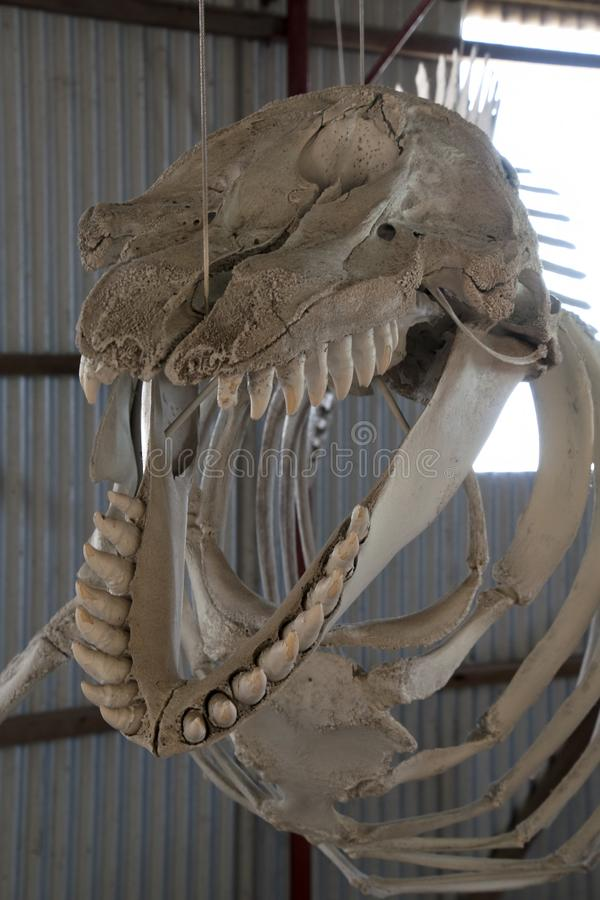 Whale skeleton head and teeth royalty free stock photos
